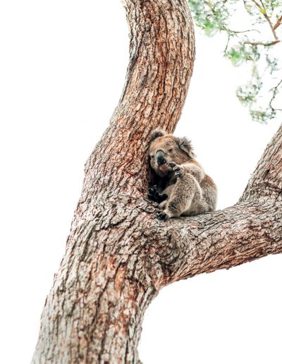 Koala asking for help from a tree